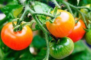 Tomates en el Mercadillo de La Matanza de Acentejo